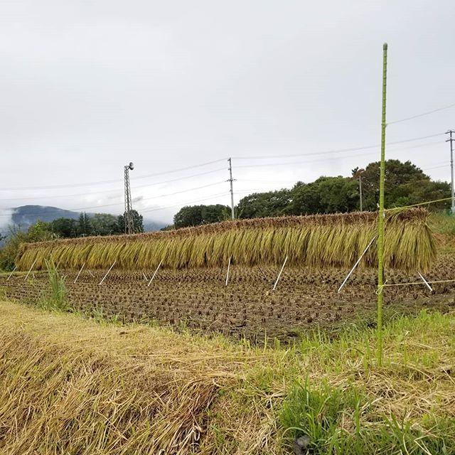 はざがけ 刈り取った稲を干しているところ 後ろの山は甲斐駒ヶ岳 20180926