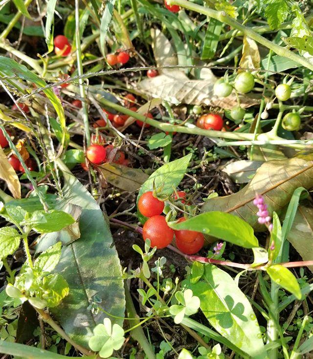 ワッツワイルドチェリートマト20181004 トマトの原種に近い品種 台風一過 草も季節もまぜこぜの中できょうも元気