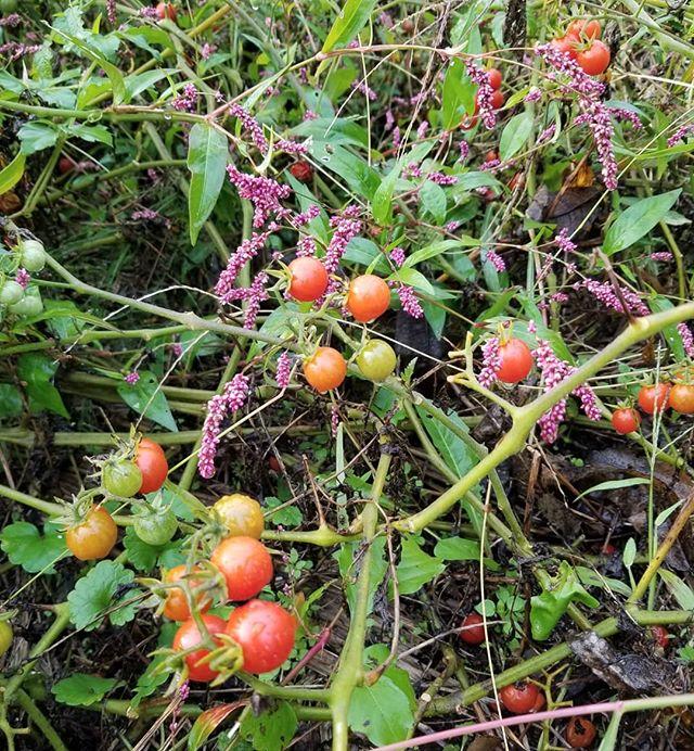 マッツワイルドチェリートマト 20181014 きょうも自然の草と一緒に元気々々  トマトの栽培種の原種ケラシフォルメの近い品種です