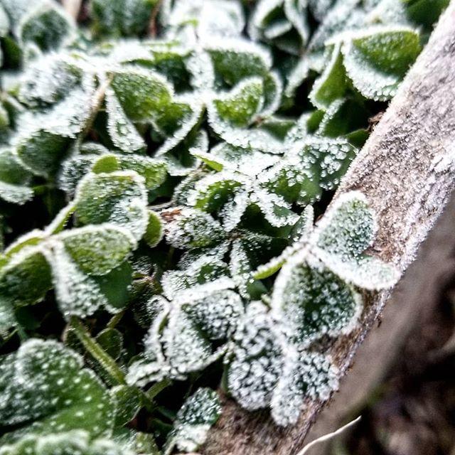八ヶ岳の霜の朝 クローバーの葉のはいつもかわいい #ひなぎくきつね #この庭のめぐる季節 201811