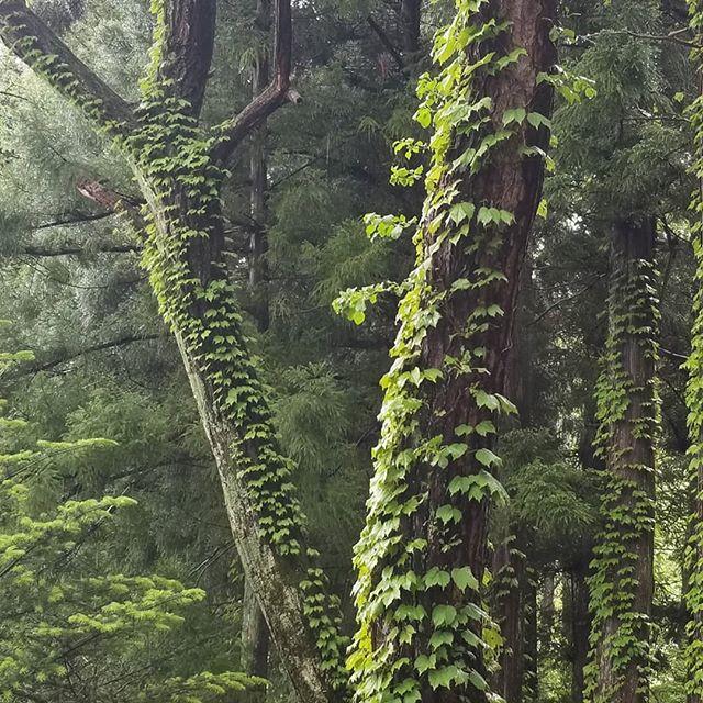 霧の朝 林の道 #ひなぎくきつね