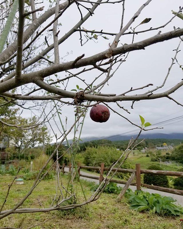 台風一過 長野の雨風のあと1 「最後の一葉」のお話でなく ホントに!目の前に! あの紅玉がいました #八ヶ岳この庭のめぐる季節 #ひなぎくきつね