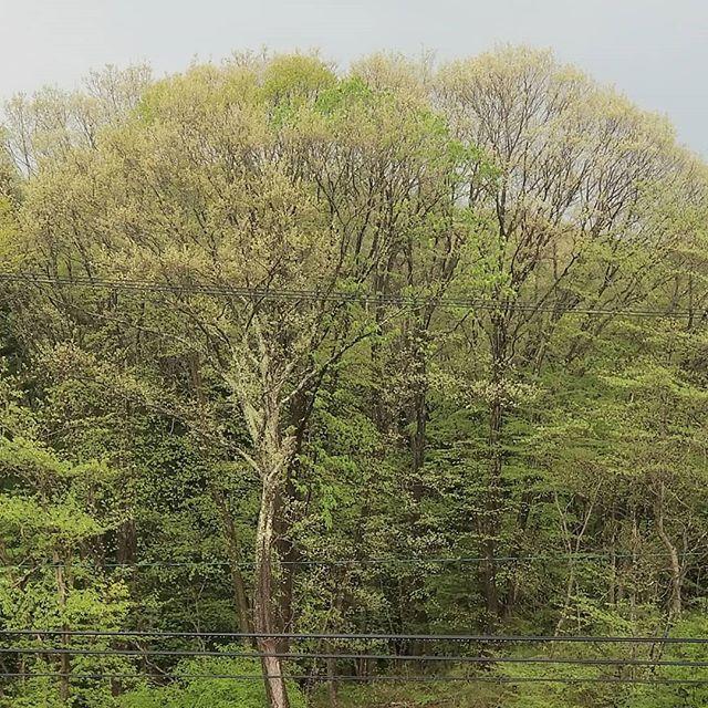#ひなぎくきつね 雨に木々は春の顔を洗う